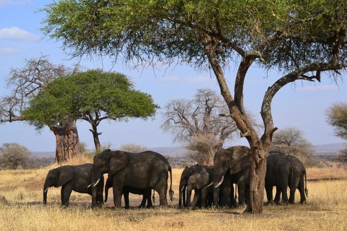Elefanten Tarangiere Tansania