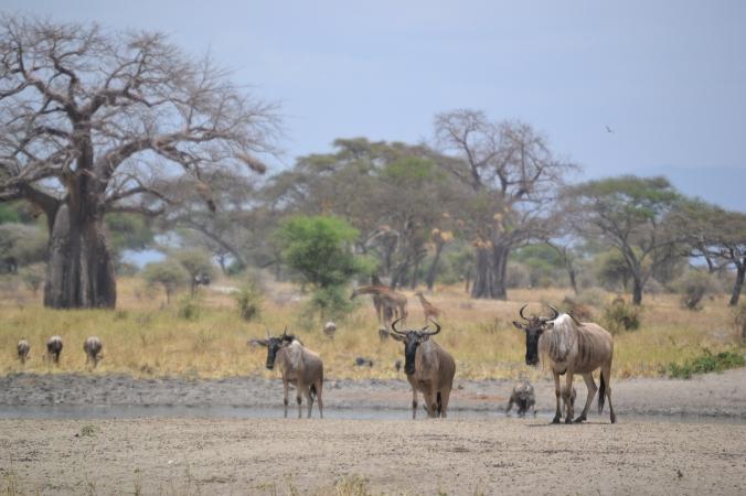 Gnus Tarangire Nationalpark Tansania Baobab